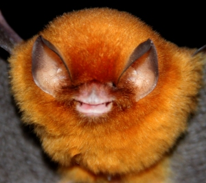 The Funnel-eared bat (Natalus stramineus)