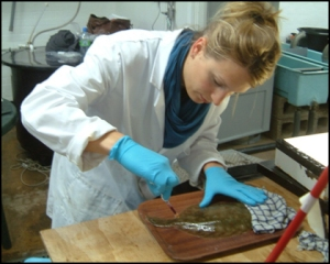 Dr Anna Sturrock blood sampling plaice ©Anna Sturrock