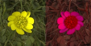 Lesser Celandine in human-vision (left) and honeybee vision (right). There's a striking colour difference in UV. The whole flower looks yellow to us, however the petals reflect UV strongly and absorb blue (so look purple in this image), while the pollen in the centre doesn't reflect UV, so looks red. This makes the flower look much more colourful to bees than ourselves.