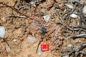 The newly developed soil moisture sensor being used in a lichen-dominated soilcrust in the Succulent Karoo, a semi-desert in South Africa. ©Bettina Weber