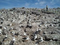 An albatross colony on Albatross island in Bass Strait Tasmania. ©Alistair Hobday