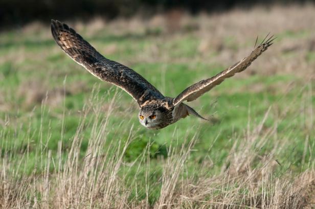 Eagle Owl (Bubo bubo). ©Tom Wallis/BTO