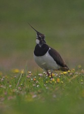 Lapwing (Vanellus vanellus). ©Rob Robinson/BTO