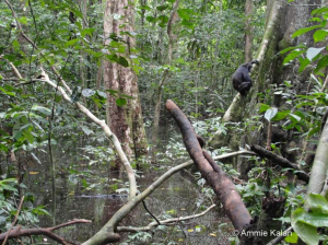 Romario, a subadult male, balances and listens after drumming on the roots of this large tree. ©Ammie Kalan