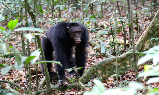 Shogun, an adult male chimpanzee producing a long distance pant-hoot vocalization and preparing to drum on the buttress roots of this tree ©Liran Samuni