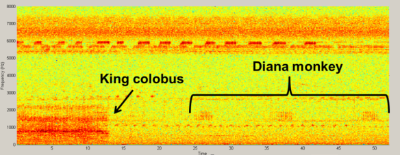 A king colobus monkey (top left) and Diana monkey (top right) and a spectrogram showing their respective loud call vocalizations recorded on an ARU in Taï forest (bottom). All above images ©Ammie Kalan.