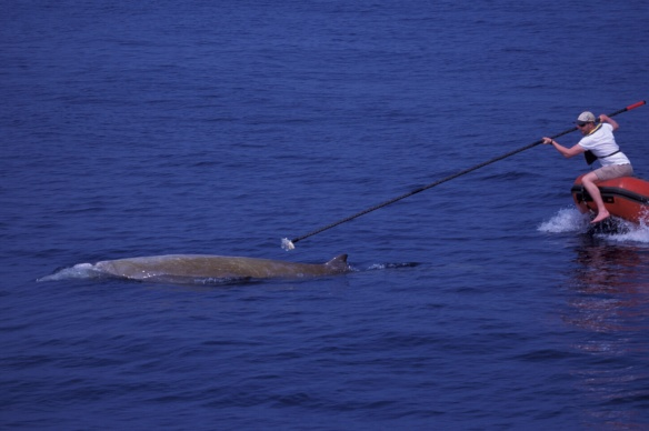 Researchers tagging a Cuvier's beaked whale with a DTAG sound tag (soundtags.st-andrews.ac.uk) in the Ligurian Sea (© T. Pusser)