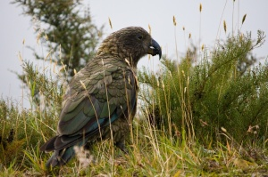 Most kea live in high-altitude habitat where research has shown they have a predominantly vegetarian diet ©Andruis Pašukonis