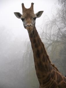 Tim Strater Giraffe