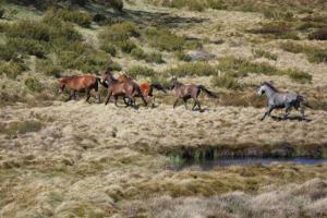 Wild horses in the Australian alps. © Regina Magierowski