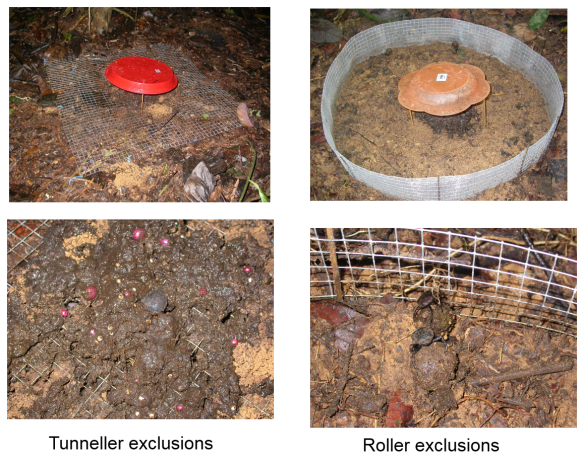 Simple field experiments used to manipulate the subset of dung beetles able to access and process dung. © Eleanor Slade.