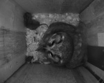 A female Tengmalm's Owl female with a shrew preparing to leave the nes
