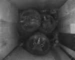 Tengmalm's Owl fledglings at the nest