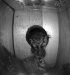 A male Tengmalm's Owl in the SNBox opening giving a prey item to the female