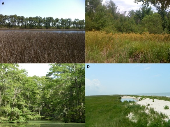 Wetland habitats, including (A) a marine-dominated coastal marsh and maritime pine island complex (Grand Bay National Estuarine Research Reserve, Mississippi, USA), (B) a freshwater floodplain marsh (Hale County, Alabama, USA), (C) a cypress-tupelo swamp (Perry Lakes, Alabama, USA), and (D) a Gulf of Mexico salt marsh (Rockefeller Wildlife Refuge, Louisiana, USA). ©Julia Cherry