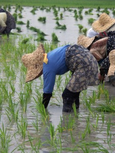 Agricultural wetlands, including rice paddies, provide food and other products to billions of people worldwide. ©Mostafa Saeednejad
