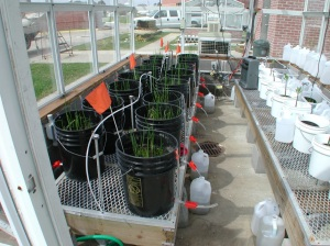 Example of a controlled greenhouse experiment using containers of intact sods of marsh soil and vegetation to examine the effects of sea-level rise and other factors on ecosystem processes. © Julia Cherry