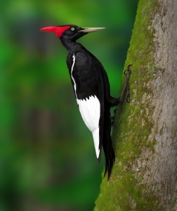 Painting of the Imperial Woodpecker (Camephilus imperialis). ©Tomasz Cofta.