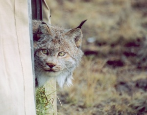 218 Canada lynx were reintroduced to the San Juan Mountains between 1999 and 2006 with VHF/Argos collars. © Colorado Parks and Wildlife