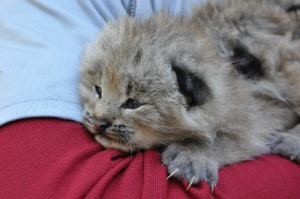The reintroduced Canada lynx successfully reproduced for the first time in 2003, and produced at least 47 dens and 127 kittens over the next several years. In 2010, the Colorado Canada lynx population was declared a self-sustaining population. © Colorado Parks and Wildlife