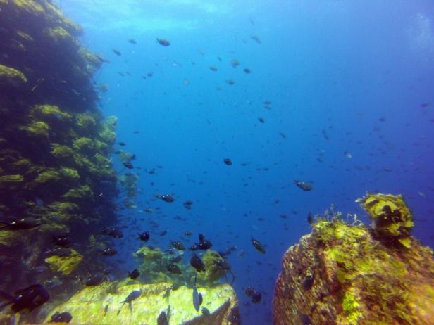 A school of Two-Spot Demoiselle fish – common rocky reef inhabitants – in the Mokohinau Islands, NZ. © Sydney Harris