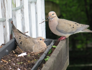 Mourning Doves are one of the 16 focal species for CUBS. ©CUBS