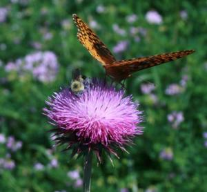 Pollinators visit flowers of the invasive thistle species, Carduus nutans, in central PA, USA. © B. Teller.