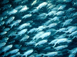Fish and invertebrates predominantly or exclusively detect particle motion.