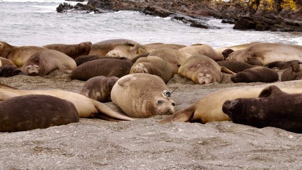 Tagged female in a southern elephant seal harem on South Georgia Island, South Atlantic. ©Theoni Photopoulou