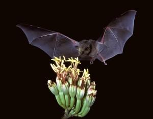 Mexican long-tongued bat ©USFWS
