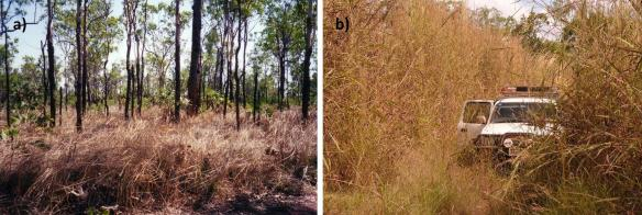 (Left) Gamba grass coverts health savanna ecosystems (right)to gamba grass dominated sites. © Samantha Setterfield.