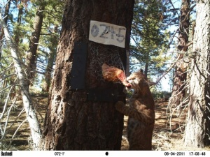 What a treat!! Careful planning of analyses BEFORE data collection makes statisticians everywhere as happy as this guy! © USFS Sierra Nevada Carnivore Monitoring Program