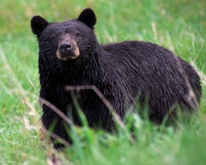 As well as black, the bears also occur as cream, cinnamon, chocolate brown or bicolour varieties. ©Jim Martin