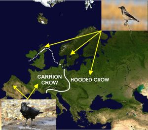 Hooded crows and all black carrion crows are two species with a clear-cut hybrid zone. ©Cruithne9