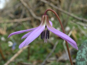 Erythronium dens-canis L. – a rare and threatened species used for modelling in Switzerland. ©Michael Nobis