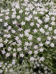 Falcaria vulgaris Bernh. - Another rare species that we used for modelling. ©Ariel Bergamini