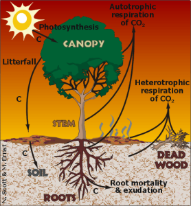 Carbon cycle summary. Note this focuses only in forested or terrestrial ecosystem.