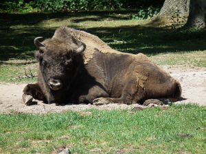 The European bison survived from extinction thanks to about 50 individuals kept in zoos. The species has been reintroduced in the wild in several European countries but remains 'Vulnerable' according to the IUCN criteria.