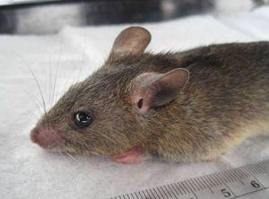 The multimammate rat (Mastomys natalensis) transmits Lassa virus to humans. ©Kelly, et al.