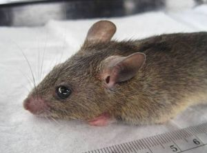The multimammate rat (Mastomys natalensis) transmits Lassa virus to humans. ©Kelly, et al.