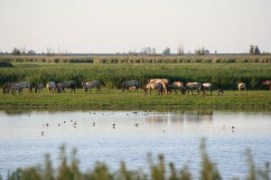 The Oostvaardersplassenis a nature reserve where Rewilding was initiated from 1983 with the introduction of free-ranging Heck cattle, Konik horses and red deer. The site provided the ideal settings to collect sediment samples and herbivores densities for our recent Methods paper. ©EM Kintzel, I Van Stokkum