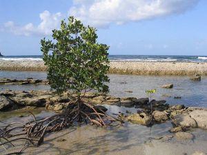 640px-Mangrove