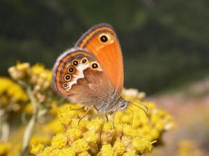 An adult of Coenonympha corinna elbana, an endemic species living in a restricted insular and continental area of the Western Mediterranean. Endemic species with restricted distributions provide a fundamental important contribution in defining biogeographic regions. © Leonardo Dapporto