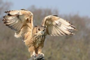 snowy-owl-981653_640