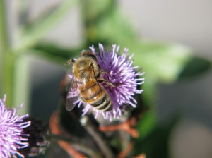 Image from the Canon PowerShot camera with CHDK script 'Motion Detect Plus'. The thistle flower being visited by ♀ honeybee Apis mellifera L.