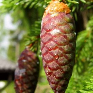 Do the Christmas trees Norway spruce (above) and Nordmann fir share the same evolutionary fate? (Images show immature female cones.)