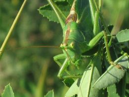 Great green bush-cricket.