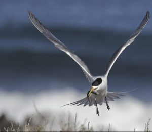 crested-tern-carrying-a-gaper
