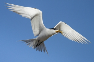crested-terns-carrying-an-anchovy-1