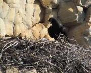 Large stick nests are built on cliffs or rocky outcrops and are used for successive years. Especially during nest building and incubation, birds can spend quite a bit of time walking around on the nest, this is the type of behaviour that is likely captured by the low activity state described in the paper. (© Megan Murgatroyd)
